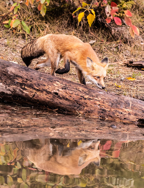 Fox looking at his reflection