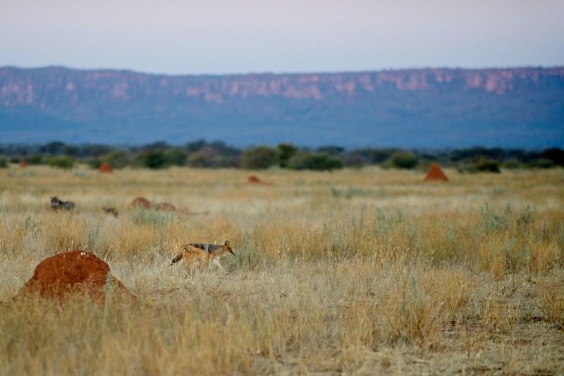 Jackal, Otjiwarongo, Namibia