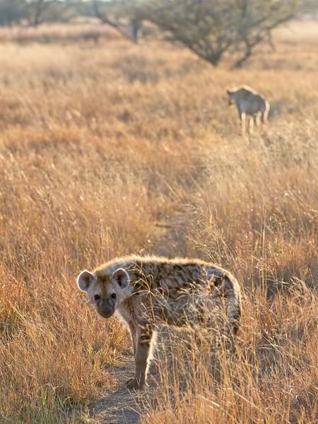 Hyena, Okavango Delta, Botswana
