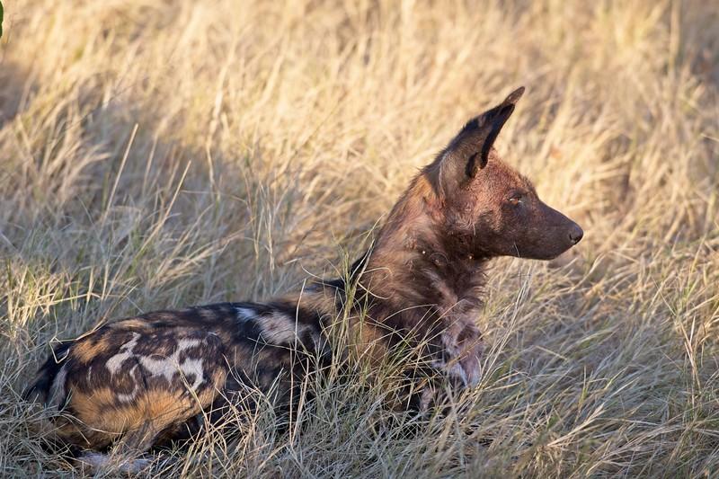 African Wild Dog, Okavango Delta, Botswana