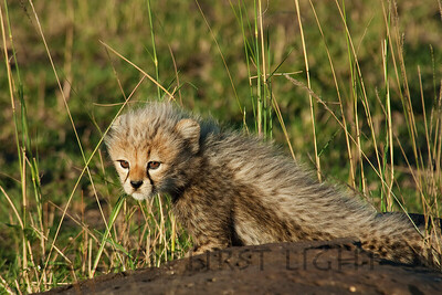 Cheetah Cub, Toto, Kenya