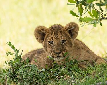 Lion Cub, Kenya