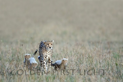 Cheetah with Cubs, Kenya