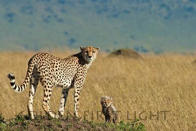 Cheetah, BBC's Honey and Toto, Kenya