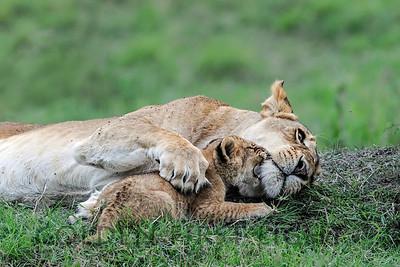 Lioness with Cub, Kenya