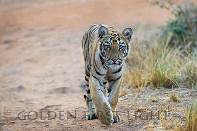 Royal Bengal Tiger Cub, Tadoba Andhari Tiger Reserve, India