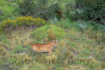 Puma, Torres del Paine Chile