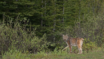 Lynx, Banff National Park Canada