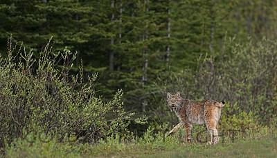 Lynx, Banff National Park Canada