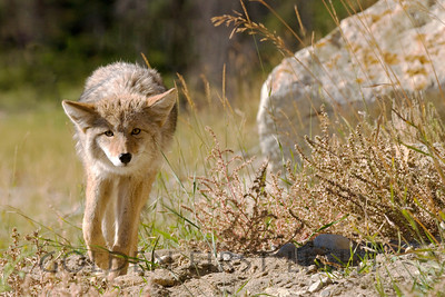 Coyote, Jasper National Park