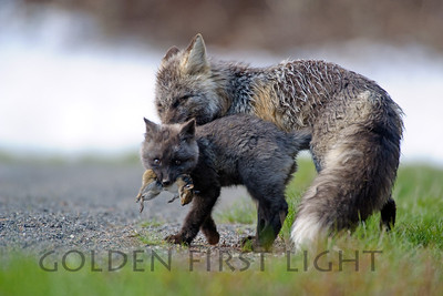 Cascade Red Fox and Kit