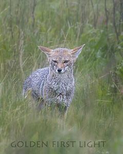 Grey Fox, Laguna Nimez Bird Sanctuary, Argentina