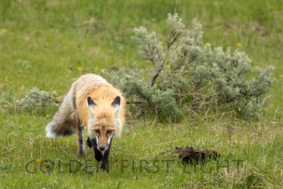 Rocky Mountain Red Fox, Yellowstone National Park