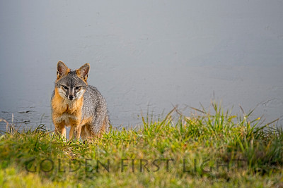 Gray Fox, Point Reyes National Seashore
