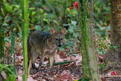 Crab-eating Fox, Pantanal Brazil