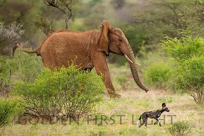 Elephant protecting young from pack of Wild Dogs, Samburu Kenya