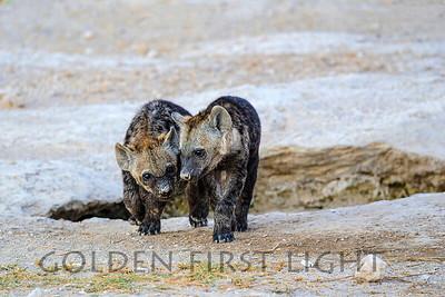 Hyena Cubs, Amboseli Kenya