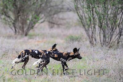 Wild Dogs, Samburu Kenya