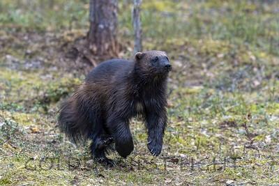 Wolverine, Lieksa Finland