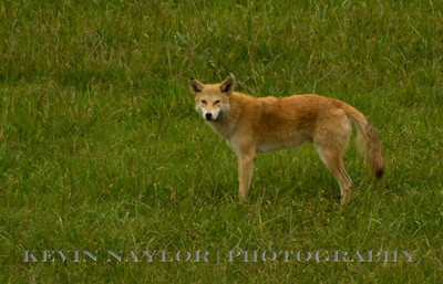 Pistol Creek Wetlands Maryville Tn.  Red Wolf / Coyote?