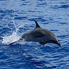 Pantropical Spotted Dolphin mid air