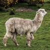 Alpaca (Vicugna pacos). Dunedin, New Zealand