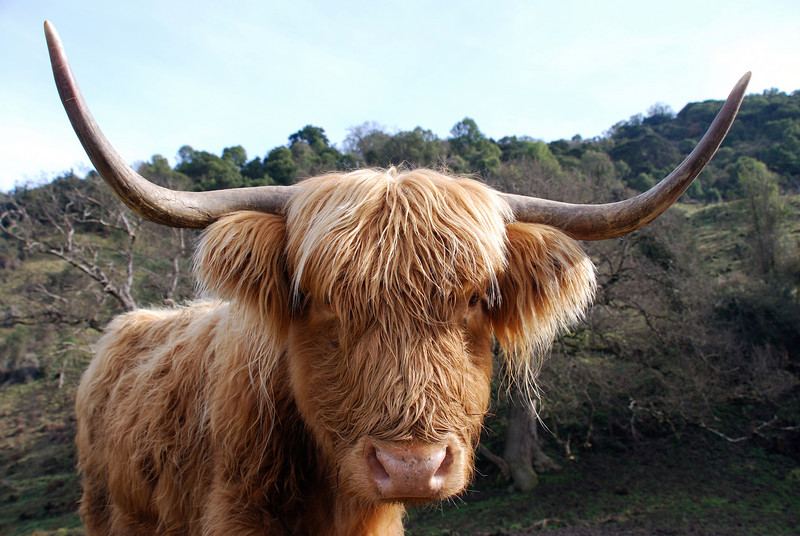 Long haired Highland cattle (bos taurus), Waipori, Otago
