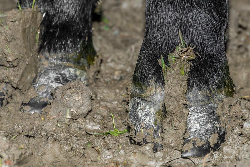 Holstein Friesian dairy cow (Bos taurus) hoof #7. Taieri Plains, Otago