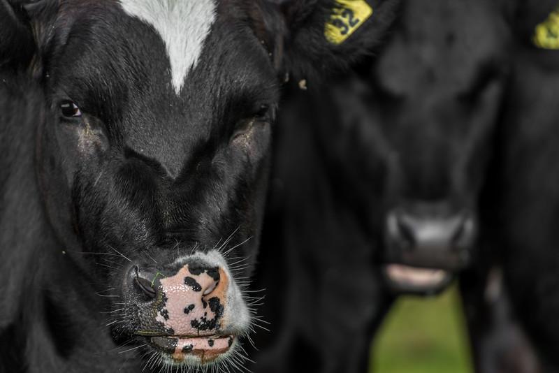 Holstein Friesian dairy cow (Bos taurus). Taieri Plains, Otago
