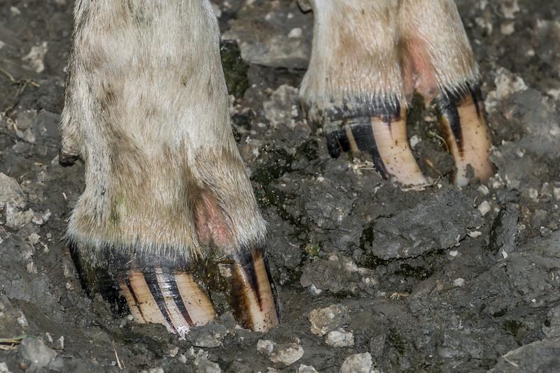 Holstein Friesian dairy cow (Bos taurus) hoof #16. Taieri Plains, Otago