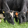 Holstein Friesian dairy cows (Bos taurus) grazing. Taieri Plains, Otago