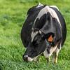Holstein Friesian dairy cow (Bos taurus) grazing. Taieri Plains, Otago
