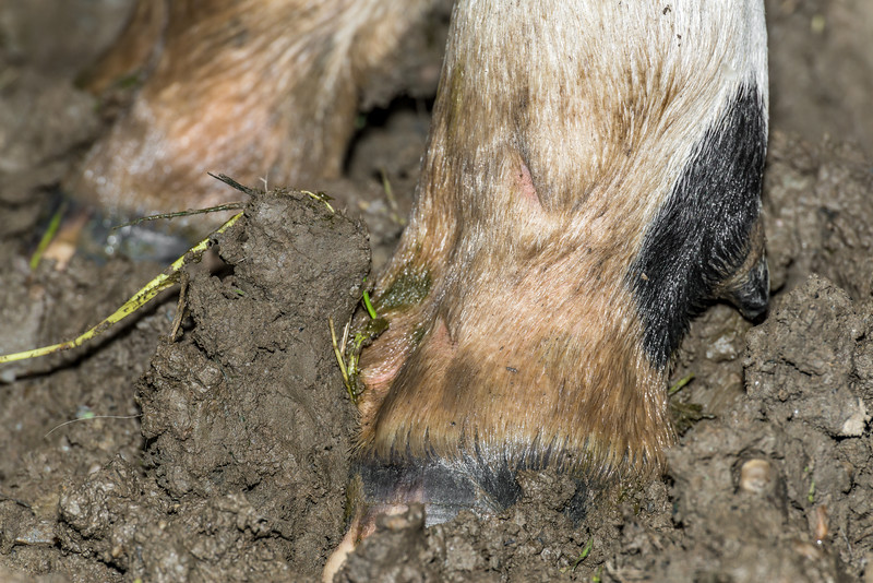 Holstein Friesian dairy cow (Bos taurus) hoof #8. Taieri Plains, Otago