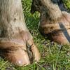 Holstein Friesian dairy cow (Bos taurus) hooves #22. Taieri Plains, Otago