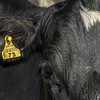 Holstein Friesian dairy cow (Bos taurus) ear tag. Taieri Plains, Otago