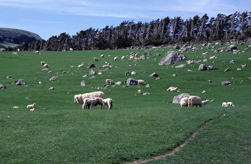 Sheep (Ovis aries) on pasture near Boulder Beach
