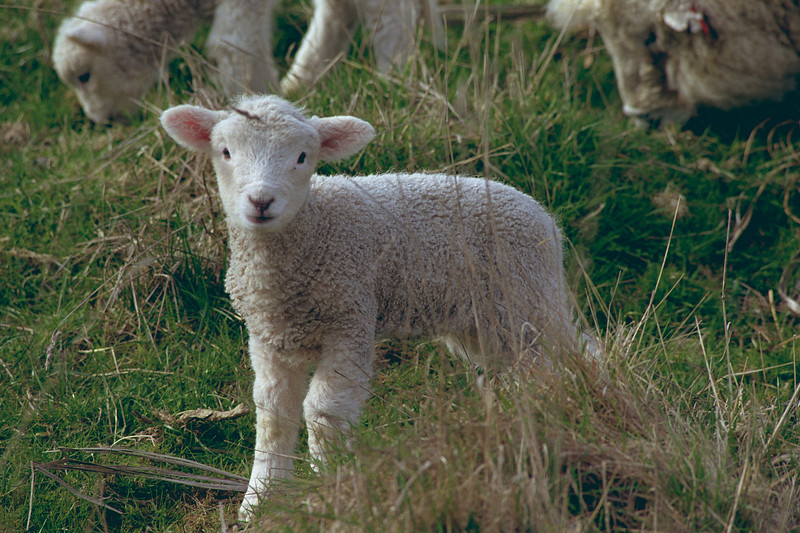 Lamb (Ovis aries), Boulder Beach