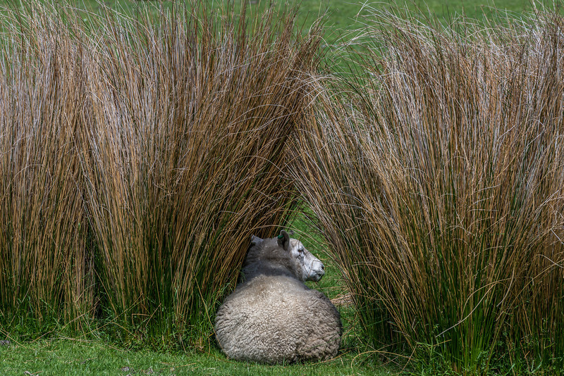 Taking shelter among tall tussocks. Okia, Dunedin
