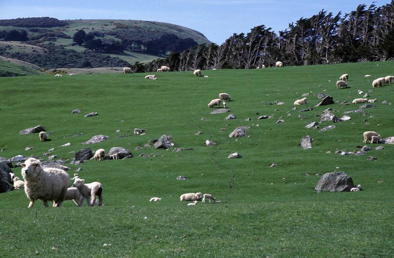 Sheep (Ovis aries) on pasture near Boulder Beach