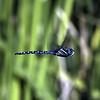 Dragon Fly<br /> Boulder County, Colorado<br /> Walden Ponds