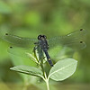 Dragon Fly<br /> Boulder County, Colorado<br /> Sawhill Ponds