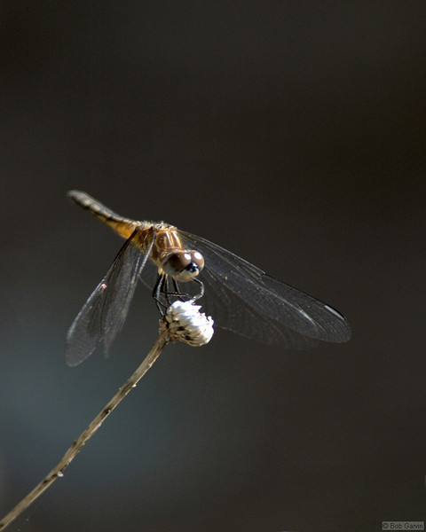 Dragon Fly<br /> Boulder County, Colorado<br /> Sawhill Ponds<br /> #5
