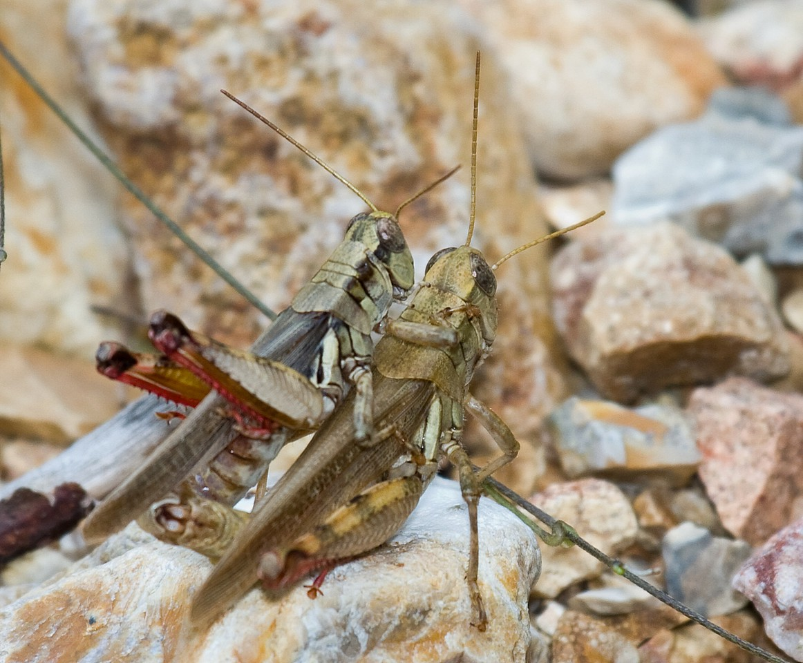 red legged grasshopper