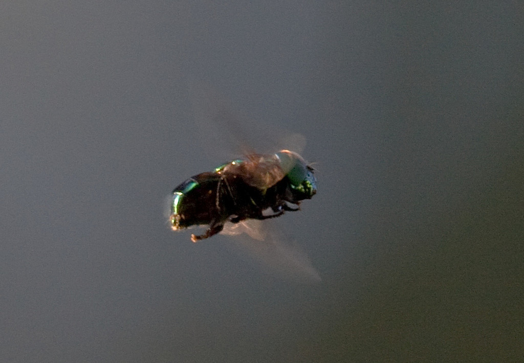 green syphrid fly