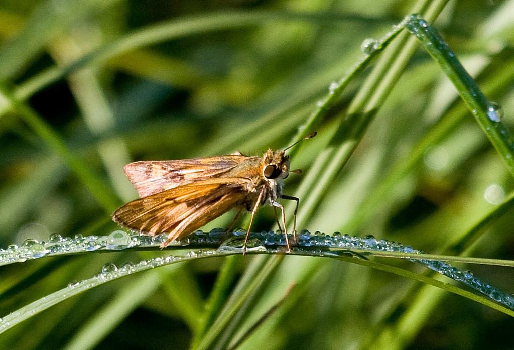 common skipper