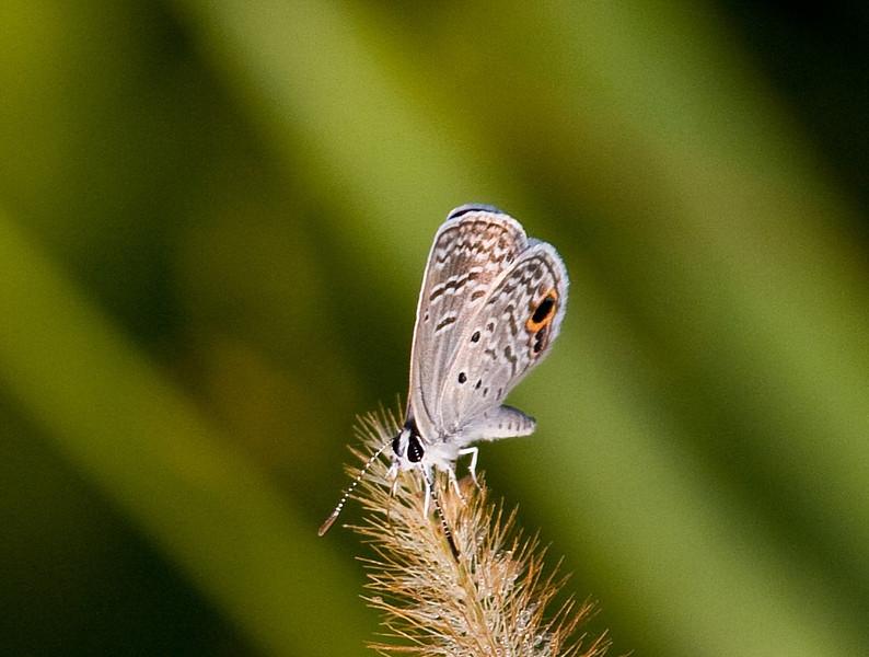 ceranuas blue