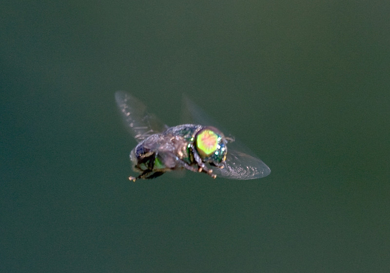 green syrphid fly