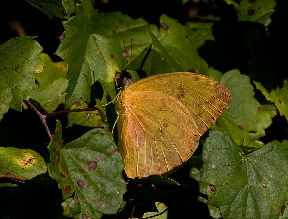 orange barred sulpher