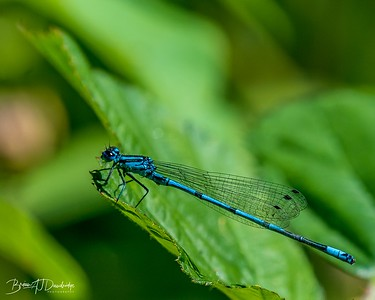 Common Blue Damsel Fly (Enallagma cyathigerum) at Woods Mill