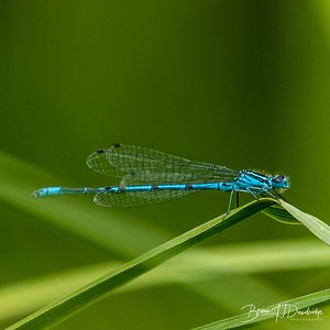 Male Azure Damselfly (Coenagrion puella) at Woods Mill